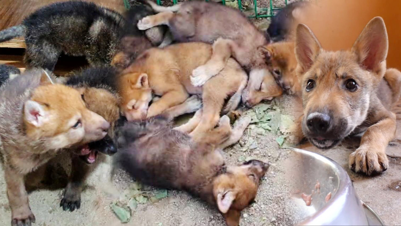 최초 공개 늑대 사파리 역사를 쓸 한국 토종 늑대 6남매!